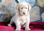 Yellow Lab Puppy For Sale