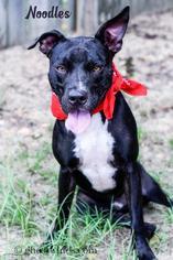 Noodles - Labrador Retriever / Whippet / Mixed Dog For Adoption