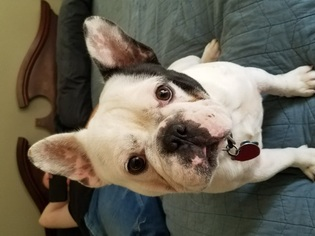 view ad french bulldog puppy for sale texas league city