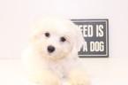 Vinny Male Maltichon Puppy