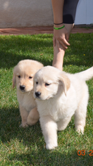 Golden Retriever Puppy For Sale in RAMONA, CA