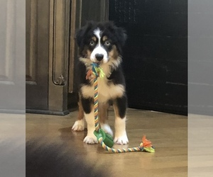 Australian Shepherd Puppy for Sale in TERRELL, Texas USA