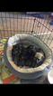 Schnauzer (Miniature) Puppy For Sale in SOUTH BEND, IN