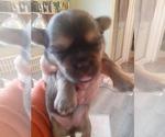 Puppy 1 Shorkie Tzu