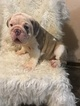 Bulldog Puppy For Sale in EAST HAVEN, Connecticut,