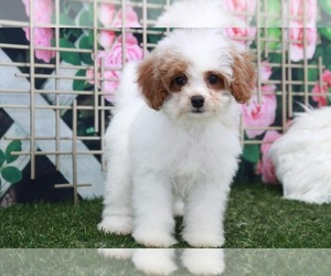 Cavapoo Dog for Adoption in MARIETTA, Georgia USA