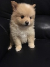 Paperanian Puppy For Sale in STOKESDALE, NC, USA