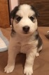 Siberian Husky Puppy For Sale in THORNTON, CO