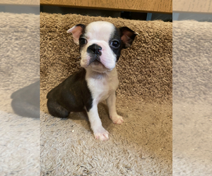 Boston Terrier Puppy for Sale in FRANKLIN, North Carolina USA