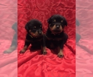 Rottweiler Puppy for Sale in COTTAGE GROVE, Oregon USA