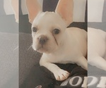 Puppy 2 French Bulldog