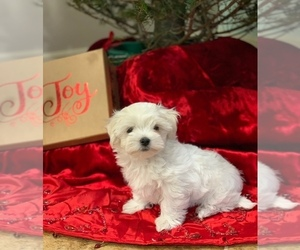Maltese Puppy for sale in FORT MYERS, FL, USA