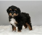 Puppy 2 Australian Shepherd-Poodle (Toy) Mix