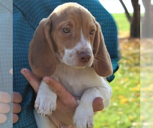Beagle Puppy for sale in RICHLAND, PA, USA