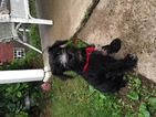 Schnauzer (Miniature) Puppy For Sale in WEST MIFFLIN, PA, USA