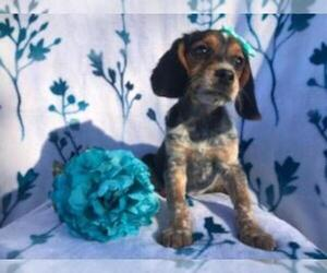 Beagle Puppy for Sale in LAKELAND, Florida USA