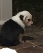 Old English Sheepdog Puppy For Sale in GEORGETOWN, KY