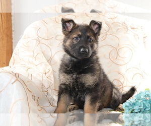 German Shepherd Dog Puppy for sale in SHILOH, OH, USA