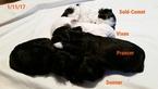 Zuchon Puppy For Sale in DELTA, CO