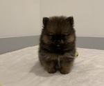 Small #12 Pomeranian