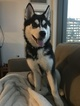 Siberian Husky Puppy For Sale in BOSTON, MA, USA