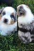 Australian Shepherd Puppy For Sale in JETMORE, KS, USA