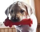 Golden Labrador Puppy For Sale in EPHRATA, PA, USA