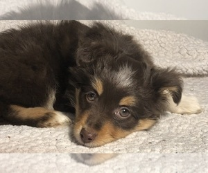 Australian Shepherd Puppy for Sale in GLUCKSTADT, Mississippi USA
