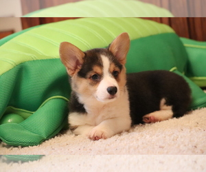 Pembroke Welsh Corgi Dog for Adoption in FORT MADISON, Iowa USA