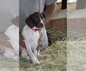 German Shorthaired Pointer Puppy for Sale in SANGER, California USA