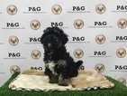 Poodle (Toy)-Yorkshire Terrier Mix Puppy For Sale in TEMPLE CITY, CA
