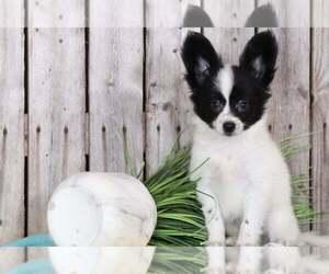 Papillon Dog for Adoption in MOUNT VERNON, Ohio USA