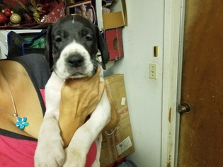 Great Dane Puppy For Sale in WATERFORD, CA, USA
