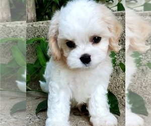 Cavachon Puppy for sale in DOON, IA, USA