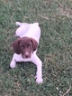 German Shorthaired Pointer Puppy For Sale in PIEDMONT, SC, USA
