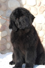 Newfoundland Puppy for sale in Yemanzhelinsk, Chelyabinsk, Russia