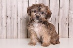 Shorkie Tzu Puppy For Sale in MOUNT VERNON, OH