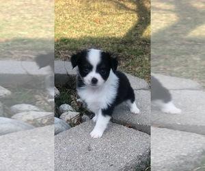 Australian Shepherd Puppy for sale in HASLET, TX, USA