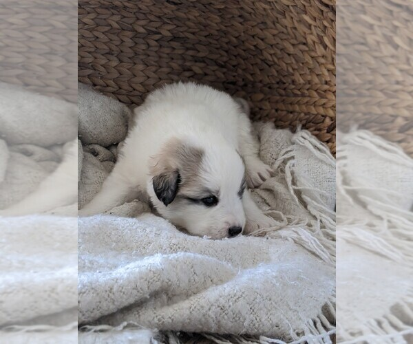 Medium Photo #47 Great Pyrenees Puppy For Sale in FALCON, CO, USA