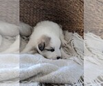 Small #46 Great Pyrenees