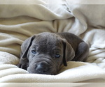 Small Photo #5 Cane Corso Puppy For Sale in SAN ANTONIO, TX, USA