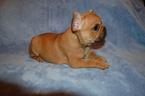 French Bulldog Puppy For Sale in DANIA, FL