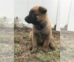 Small Photo #3 Belgian Malinois Puppy For Sale in WAYCROSS, GA, USA