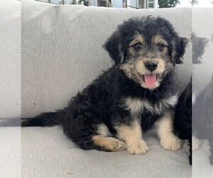 Goldendoodle (Miniature) Puppy for sale in ROWLEY, MA, USA