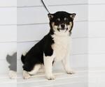 Puppy 3 Aussiedoodle-Goldendoodle Mix
