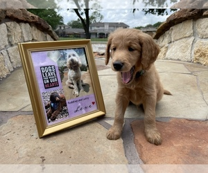 Goldendoodle Puppy for sale in SUGAR LAND, TX, USA