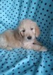Goldendoodle Puppy For Sale in BELLEVILLE, Pennsylvania,