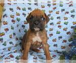 Small #1 Boxer