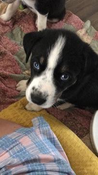 Gerberian Shepsky  Mix puppy