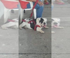 Father of the English Bulldog puppies born on 09/06/2020
